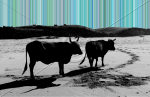 Beach tour (cows on Wild Coast)